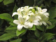 5 graines de BOIS JASMIN(Murraya Paniculata)G450 SEEDS SAMEN SEMILLAS SEMENTES
