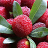 FD800 Red Sweet Bayberry Seeds, Myrica Gale Fruit Seeds, 90%+Germination ~10PCs#