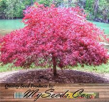 (10) Red Lace Leaf Japanese Maple - ACER palmatum matsumurae Atropurpureum