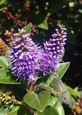 Hebe speciosa - 100 seeds - New Zealand native shrub