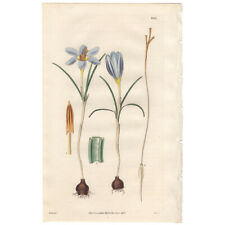 Curtis Botanical Magazine antique 1830 hand-colored engraving Pl 2991 Crocus