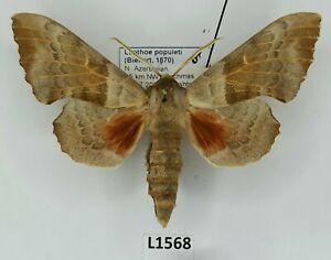 Sphingidae, Laothoe populeti, male, A1/A1-, Azerbaijan