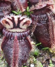 Cephalotus Follicularis * Eden Black * Australian Pitcher Plant * RARE 2 Seeds ~