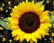 SUNFLOWER SEEDS (APPROX 200 SEEDS) BUY 2 BAGS,GET 1 BAG FREE....