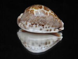 Sea shell Cypraea mappa f. geographica 58.7mm ID#6335