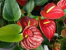 15+ Red Anthurium Flower Seed  / Long Blooming Indoor Houseplant