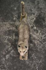 Full body opposum taxidermy mount for sale * Sku 2043
