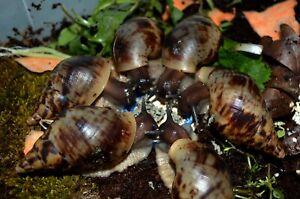 #1 Giant Land Snail Lissachatina reticulata Black Headed 6-8cm