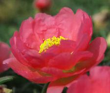 MOSS ROSE RED Portulaca Grandiflora - 1,250 Bulk Seeds