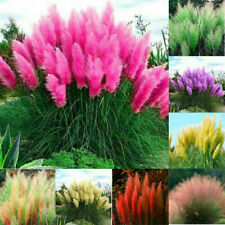 1000 Pampas Plant Seeds Mixed Cortaderia Many-Colored Decor Exotic Grass Garden