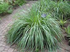 150 graines de CITRONNELLE DES INDES( Cymbopogon Citratus)H420 LEMON GRASS SEEDS
