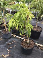 Harvest Moon Mango Tree 7 Gal Potted Tree Grafted