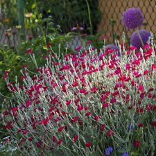 LYCHNIS Coronaria Altrosanguinea Oeillet Jérusalem 1x plante-vivace-extérieur /