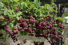 akebia longiracemosa x trifoliata -- hybrid chocolate vine plant -- tasty fruits
