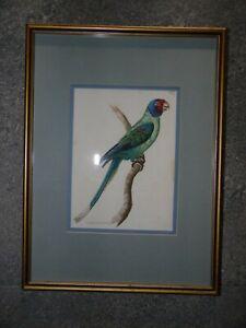 Plum Headed Parakeet, C1800 Antique Engraving by RP Nodder. Bird Portrait