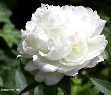 White Peony Poppy Plant -25 Seeds- Indescribably Elegant Beauty Wedding Flowers