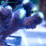 Live Purple Stylopora SPS Coral Frag (Saltwater)
