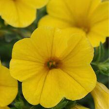 CALIBRACHOA Seeds ~ Kabloom YELLOW ~ Trailing for Hanging Baskets ~