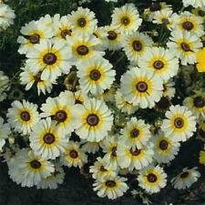 Chrysanthemum Carinatum- Polar Star- 200 Seeds - 50 % off sale