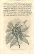 """Rhododendron arboreum fleur/Croix de Jésus-Christ """"roi des Juifs"""" GRAVURE 1859"""