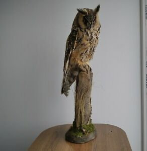 Elite taxidermy, Stuffed Bird owl, long-eared owl (Asio otus)