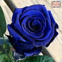 Rare Blue Rose Flower Seeds Garden Plants - UK Seller - 20x Viable Seeds