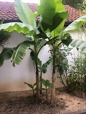 Musa Basjoo Bananenpflanze - winterhart