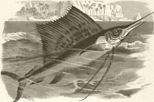 FISH. Spotted Indian sword-fish 1896 old antique vintage print picture