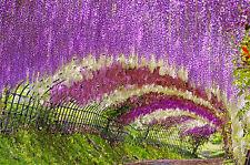 Der Blauregen  erklettert alles und erstrahlt in seinen violetten Blütenpracht.