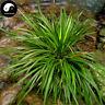 Buy Acorus Tatarinowii Herb Seeds Plant Calamus For Shi Cang Pu