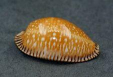 Cypraea guttata surinamensis. BEST!