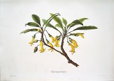 "Antique Hawaii Botanical Print: Hawaii Native Flower ""OHENAUPAKA"": London, 1885"
