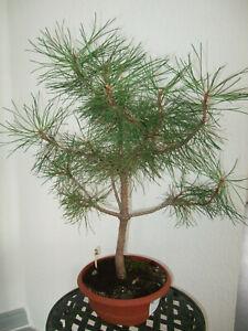 Outdoor Bonsai // Pinus nigra / Schwarzkiefer (2)