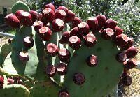 Texas Prickly Pear Cactus Pad/Segment clipping - Opuntia lindheimeri 'Sequin'