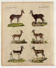 Antilopen - Gazellen - Tiere - Kupferstich-Bertuch 1800