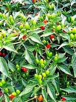 Lisa Pequin Pepper Seeds (25 Seeds) Small Red Round Bird's Eye Type - Non GMO