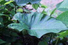 Colocasia fontanesii - 1 plant en pot - rustique - hardy