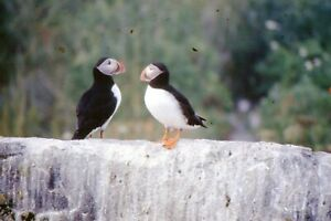 35mm SLIDES : PUFFIN'S IN CLOSE-UP AND IN THEIR NATURAL HABITAT ( 9 SLIDES)