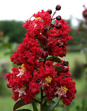 "Dynamite® Crape Myrtle - Healthy Established Rooted - 3 Plants in 2.5"" Pots"