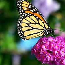 FRENCH BUTTERFLY MIX WILDFLOWERS Pollinators Hummingbirds Native Bees Colorful