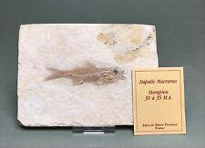 RARE DAPALIS MACRURUS fossil fish from France. 1353