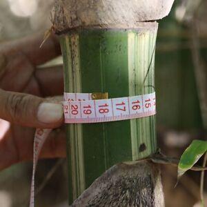 Maxima Giant Bamboo. Edible shoots.  (G. pseudoarundinacea) 50  Seeds