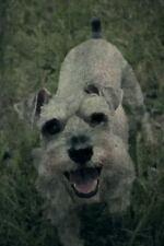 Renaissance Dogs: Miniature Schnauzer : Miniature Schnauzer:.