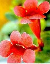 Trumpet Vine 15 Seeds - Campsis radicans