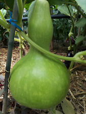 Bottle Shaped Gourd, Asian Gourd, Calabash, Lauki - 5 Seeds