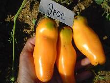 Tomato seeds collection Eros yellow from Ukraine / 15 SEEDS