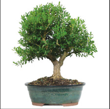 Bonsai Tree Harland Boxwood Outdoor Live Plant Leaves Flowers 8 Years Garden