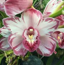 Cymbidium Wollar 'Strawberry Weave' orchid plant