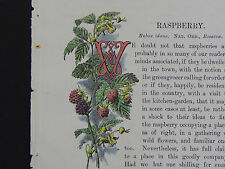 Botanical Miniature Hand Color Familiar Wild Flowers c1895 Rasberry #08