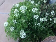 Organically Grown Garlic Chives, aka Chinese Chives, Heirloom, 30+ Seeds
